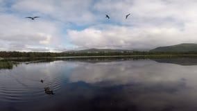 Seagulls som flyger i ultrarapid över blått dammvatten med änder och fiskmåsar stock video