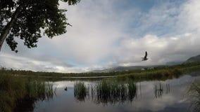 Seagulls som flyger i ultrarapid över blått dammvatten med änder och fiskmåsar arkivfilmer
