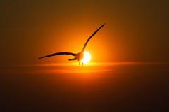 Seagulls som flyger på solnedgången Arkivfoto