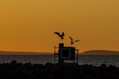 Seagulls som kommer att roost Arkivfoto