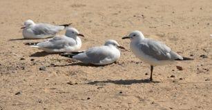 Seagulls som kopplar av på stranden Arkivfoto
