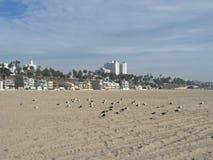 Seagulls som kyler, Santa Monica Beach, Kalifornien, USA royaltyfria foton