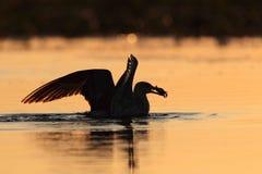 Seagulls som matar whit fångar krabbor lite, på solnedgången Fotografering för Bildbyråer