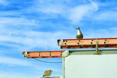 Seagulls som sätta sig på den nytto- lastbilen Royaltyfri Foto