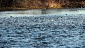 Seagulls som simmar i den amerikanska floden Sacramento Kalifornien lager videofilmer