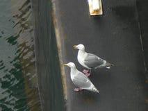 Seagulls som sitter öppen bästa sikt för näbb Arkivbilder