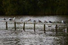 Seagulls som sitter på staketet fotografering för bildbyråer