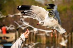 Seagulls som slår ned mat royaltyfria bilder
