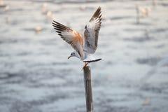 Seagulls som står på bambu Royaltyfri Foto