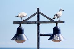 Seagulls som vilar på gataljus Royaltyfria Foton