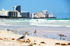 Seagulls on South Beach Royalty Free Stock Image