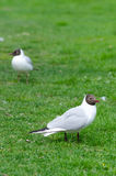 Seagulls on a spring grass Stock Image