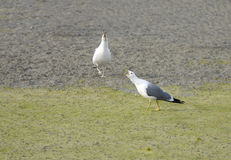 Seagulls squawking Stock Images