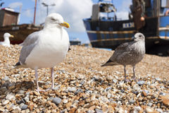 Seagulls at the Stade Royalty Free Stock Photography