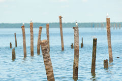 Seagulls standing on bamboo Royalty Free Stock Image
