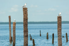 Seagulls standing on bamboo Stock Photography