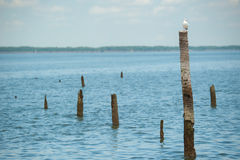 Seagulls standing on bamboo Royalty Free Stock Photography