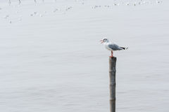 Seagulls standing on bamboo shore of the Sea Royalty Free Stock Photography
