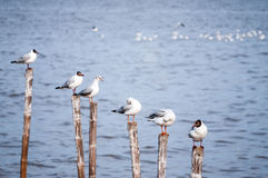 Seagulls standing on bamboo sticks Stock Photography