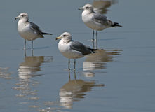 Seagulls standing on the beach Stock Photography