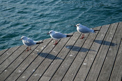 Seagulls standing in the harbour. Seagulls standing on wooden bridge in the harbour Stock Image