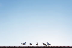Seagulls Standing on the Roof and Listen to the Leader Royalty Free Stock Images