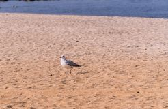 Seagulls Standing Running Royalty Free Stock Images