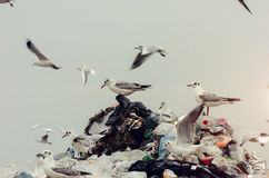 Seagulls standing on top of the landfill pile Royalty Free Stock Photography