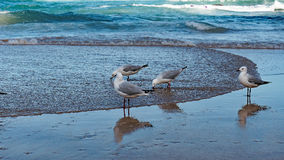 Seagulls Standing at Waters Edge Stock Photos
