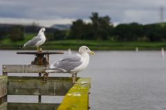 Seagulls standing on a wooden ledge on a cloudy day, Shoreline Lake and Park, Mountain View, San Francisco bay area, California;. Selective focus royalty free stock photos