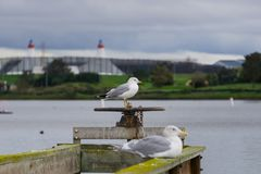 Seagulls standing on a wooden ledge on a cloudy day, Shoreline Lake and Park, Mountain View, San Francisco bay area, California;. Selective focus royalty free stock photo