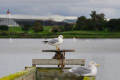 Seagulls standing on a wooden ledge on a cloudy day, Shoreline Lake and Park, Mountain View, San Francisco bay area, California;. Selective focus stock photography