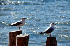 Seagulls at Staten Island Ferry Royalty Free Stock Image