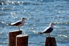 Seagulls at Staten Island Ferry. Seagulls at Staten Island - Winter 2014 Royalty Free Stock Image