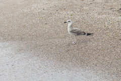 A seagulls stay on sand Stock Photography