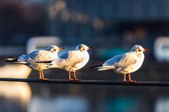 3 seagulls on a steel rope stock images