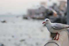 Seagulls stoi na kamienia ogrodzeniu na nadmorski nauki imieniu są Charadriiformes Laridae Selekcyjna ostrość i płytka głębia Zdjęcia Stock