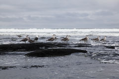 Seagulls on stormy beach Royalty Free Stock Image
