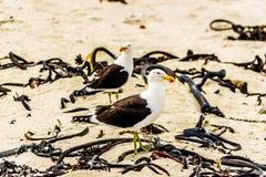 Seagulls at Strandfontein beach on Baden Powell Drive between Macassar and Muizenberg near Cape Town. Seagulls at Strandfontein beach on Baden Powell Drive Stock Photography