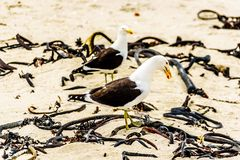 Seagulls at Strandfontein beach on Baden Powell Drive between Macassar and Muizenberg near Cape Town. Seagulls at Strandfontein beach on Baden Powell Drive Royalty Free Stock Image