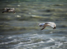 Seagulls in the sun and the blue waters. This image shows some seagull flying over the blue waters of the sea. It was taken on a sunny day in July Stock Photos