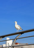 Seagulls in the sun Royalty Free Stock Image