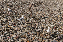 Seagulls on Sunny Pebble Beach. Seagulls on Pebble Beach. Three standing and one flying by Stock Images