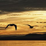 Seagulls at sunset Stock Image