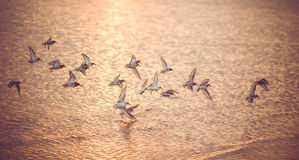 Seagulls at sunset. Journey through the warm sea Royalty Free Stock Image