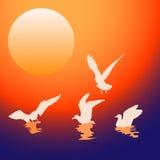 Seagulls at sunset Stock Photography