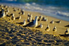Seagulls by the sunsets Stock Image