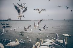 Seagulls and swans Royalty Free Stock Images