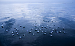 Seagulls swim in indigo sea Royalty Free Stock Images