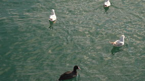 Seagulls swim in the sea. One seagull takes off stock video footage
